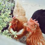 Chicken Treats: Broccoli Piñata