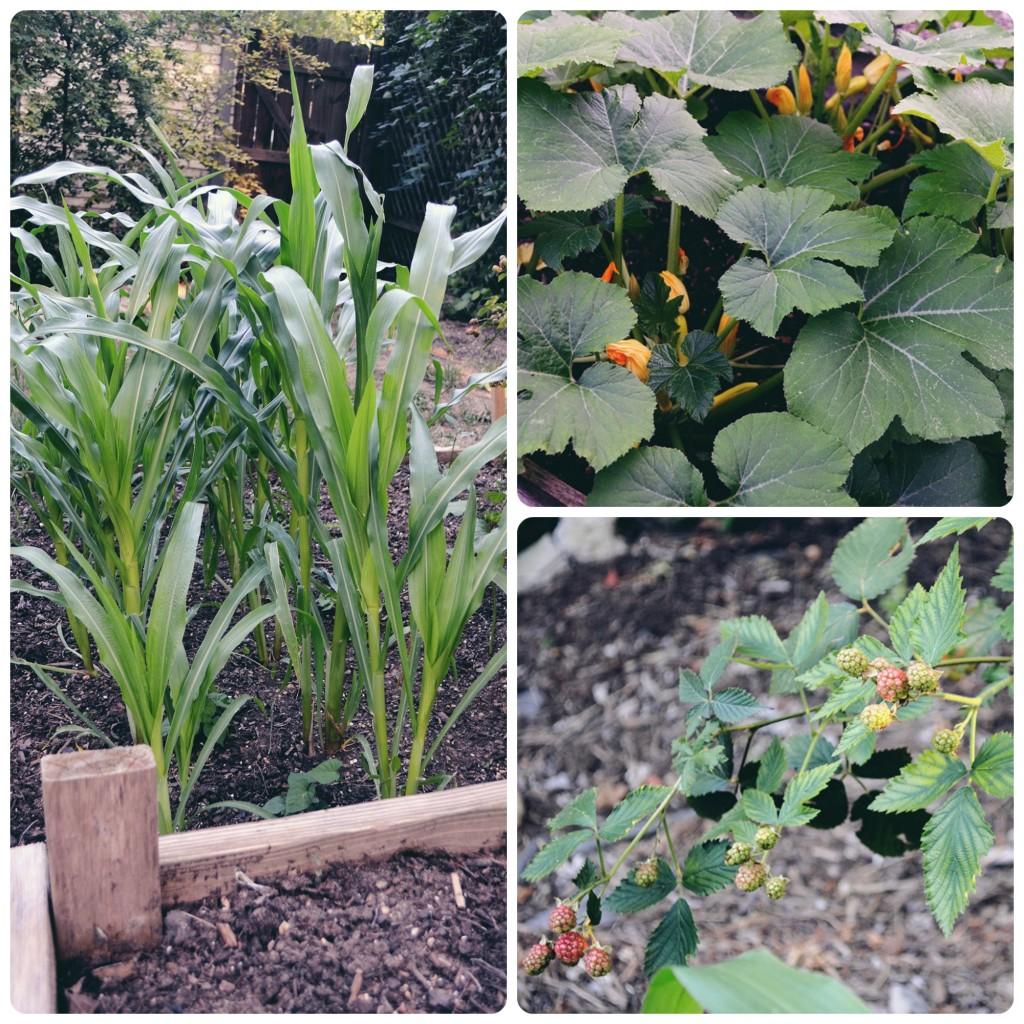 Corn, squash, and blackberries