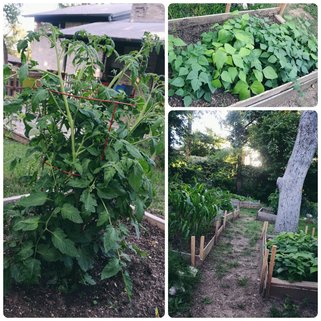 Tomatoes, beans, and the garden path