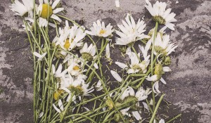 Crushed daisies